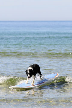 dog surfing the waves on a surfboard